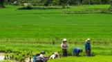 lao-people-working-in-the-rice-fields